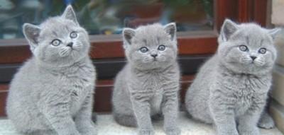 Московский питомник британских кошек Silvery Snow постоянно предлагает элитных британских плюшевых котят голубого окраса, шоу- и брид- класса от импортированных титулованных ПРИВОЗНЫХ производителей. Cайт http://www.snow.alvas.ru/