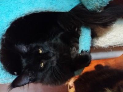 Питомник &#34;Bonny,s Beauty&#34;<noindex><a target=_blank  href=/go.php?url=http://gleep.ru/index2.php><big>занимается</big></a></noindex> разведением и выращиванием этого замечительного животного, обладающего изумительным характером, не  подражаемым голосом и великой преданностью своему хозяину. Это даже не кошки, а Ваши компаньоны./
