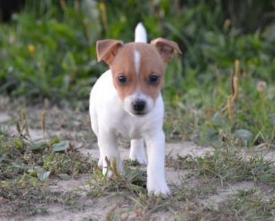Желаете приобрести преданного друга в виде самой маленькой собачки, но с очень большим сердцем - это к нам! Личные наблюдения, особенности и стандарты породы, рекомендации по уходу, история породы,много полезной и интересной информации./
