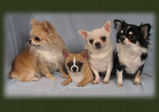 All of the chihuahua .